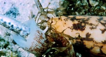 Conus snail eats fish
