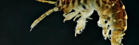 killer shrimp on black background