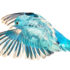 Pacific parrotlet in flight