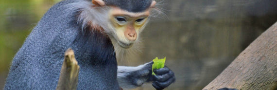 red shanked duoc langur monkey