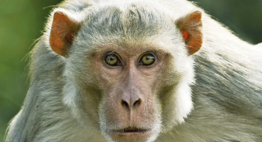 rhesus macaque monkey focus