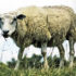 sheep stands in tall grass