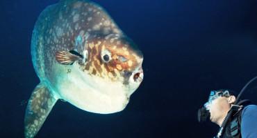 Ocean sunfish. (Credit: