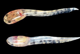 fanged frog tadpoles