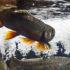 trout in aquarium tank