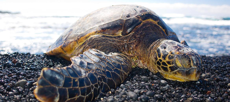 green turtle basking in the sun