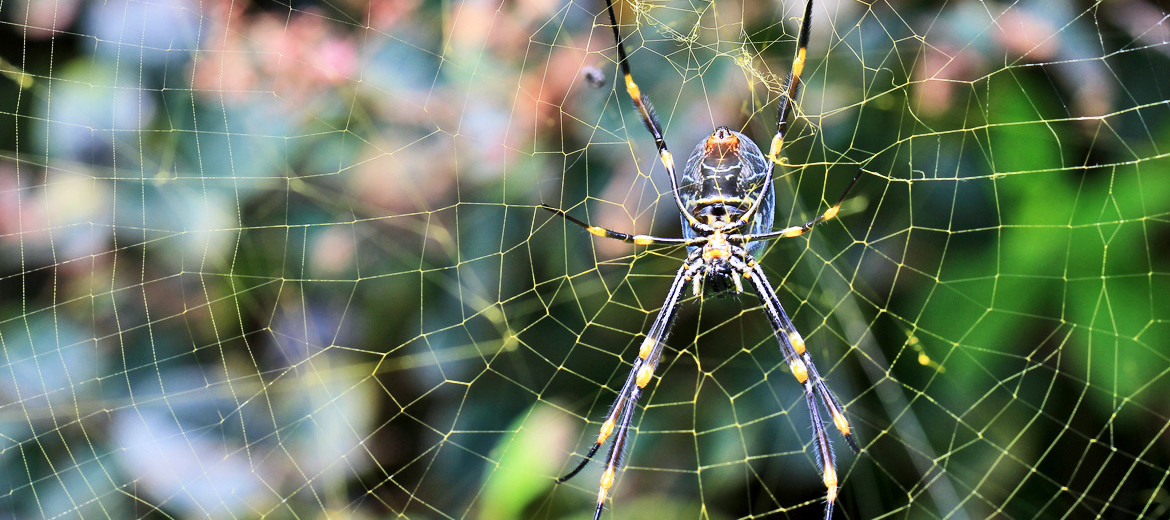 Nephila plumipes, Coastal Golden Orb Weaver