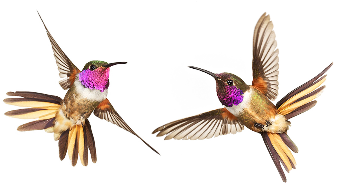 'Love signals' suggest new kind of hummingbird