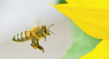 bee flies toward yellow flower