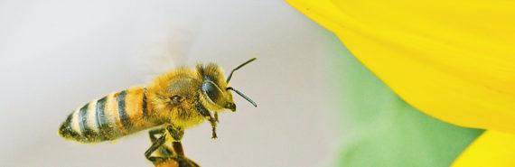 bee flies toward yellow flower