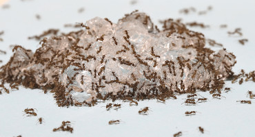 Argentine worker ants feed on hydrogels saturated with sugar water