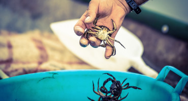 man drops crabs into bucket