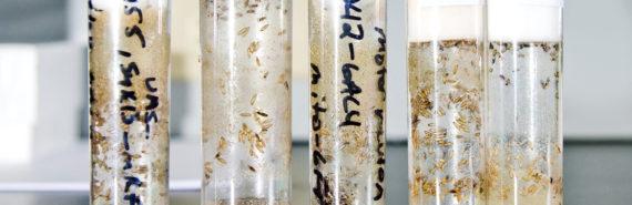 fruit fly larvae in vials