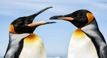 king penguin shows another its tongue