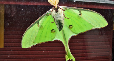 luna moth on car window