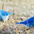 male mountain bluebirds