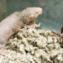 These hairless rodents don't get cancer despite a lifespan of 30 years. (Credit: Brandon Vick/University of Rochester)