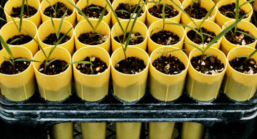 switchgrass shoots grow in cups