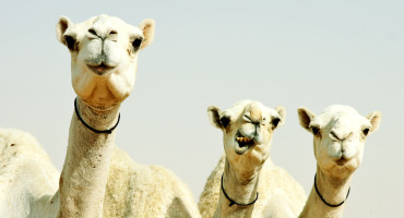three camels wearing collars