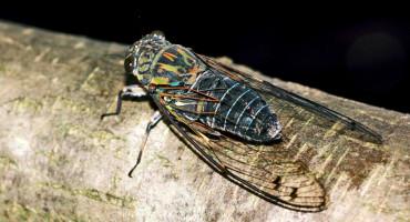Meimuna opalifera cicada