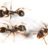 three ants on white background