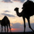 camels in silhouette in ethiopia