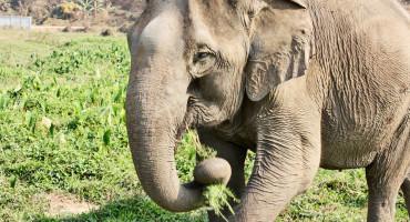 asian elephant eating grass