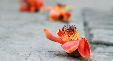 red blossom on the sidewalk - abscission