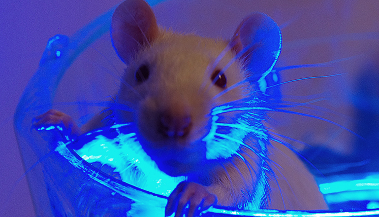 blue light on rat in lab