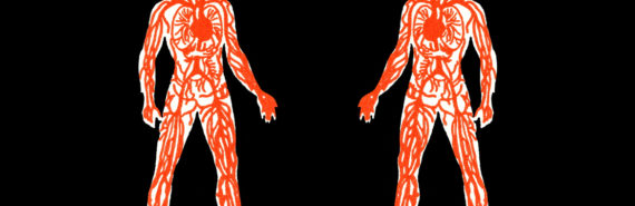 two figures with cardiovascular systems