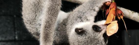 lemur eats flower
