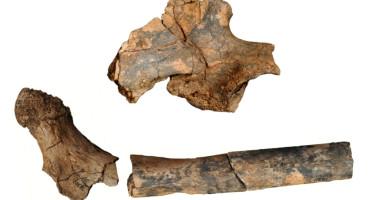 pelvis and femur fossils