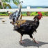 feral chickens in Hawaii