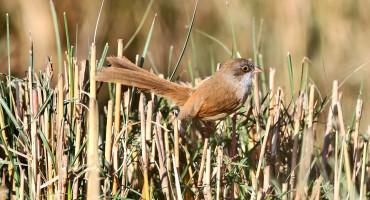 Jerdon's babbler bird in reeds