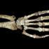 hand and forearm of Australopithecus sediba