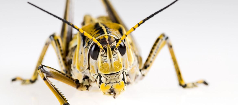 lubber grasshopper / locust