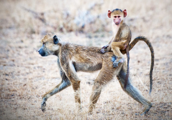 baboons - baby rides on mom