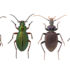 Arctic beetles