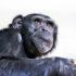 chimpanzee on white - chimps