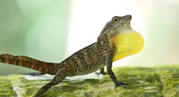 crested anole lizard