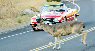 deer on road with red car