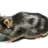 fat brown mouse on white