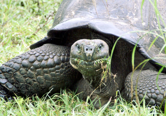 """""""This struck us as pretty odd,"""" says Stephen Blake. """"Why would a 500-pound animal that can fast for a year and that carries a heavy shell haul itself up and down a volcano in search of food? Couldn't it just wait out the dry season until better times came with the rains?"""" (Credit: putneymark/Flickr)"""