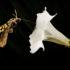 hawk moth drinks from flower
