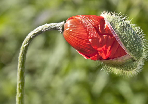 poppy flower with seed on it