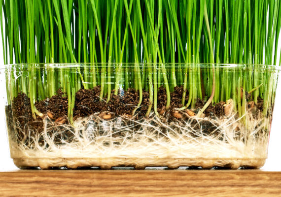wheat shoots and roots in container