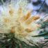 conifer pollen