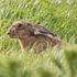 hare looks sheepish