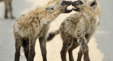 two hyenas