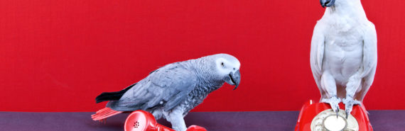 parrots and phone for Polly ebola program